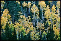 Aspens and evergreens on hillside, North Rim. Grand Canyon National Park ( color)