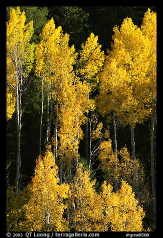 Backlit Aspens with fall foliage on hillside, North Rim. Grand Canyon National Park (color)