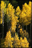 Backlit Aspens with fall foliage on hillside, North Rim. Grand Canyon National Park, Arizona, USA.
