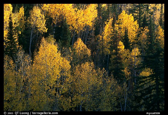 Backlit Aspen forest in autumn foliage on hillside, North Rim. Grand Canyon National Park (color)