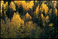 Backlit Aspen forest in autumn foliage on hillside, North Rim. Grand Canyon National Park, Arizona, USA.
