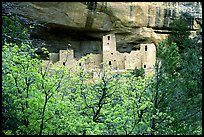 Trees and Cliff Palace, morning. Mesa Verde National Park, Colorado, USA.