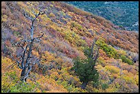 Trees and slope covered with fall colors. Mesa Verde National Park, Colorado, USA. (color)