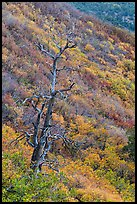Tree skeleton and slope with shrubs in the fall. Mesa Verde National Park ( color)
