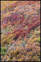 Burned slope with shrub-steppe plants in fall colors. Mesa Verde National Park, Colorado, USA. (color)