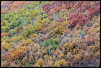 Burned area with shrubs in autumn colors. Mesa Verde National Park ( color)