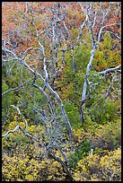 Burned trees and rabbitbrush in the fall. Mesa Verde National Park, Colorado, USA. (color)