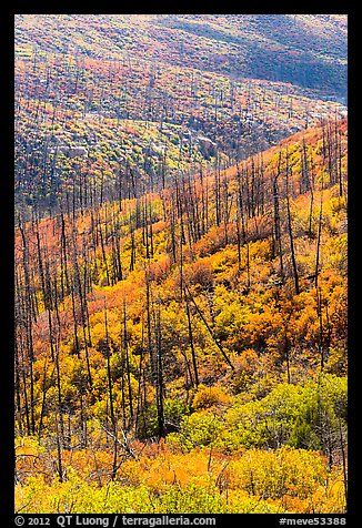 Burned forest and vividly colored shurbs in autumn. Mesa Verde National Park (color)