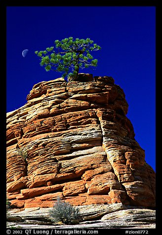 Lone pine on sandstone swirl, Zion Plateau. Zion National Park (color)