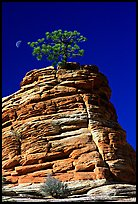 Lone pine on sandstone swirl, Zion Plateau. Zion National Park, Utah, USA. (color)