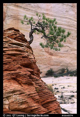 Lone pine on sandstone swirl and rock wall, Zion Plateau. Zion National Park, Utah, USA.