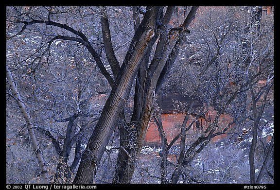 Cottonwood trees in winter, Zion Canyon. Zion National Park (color)