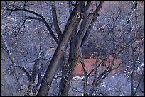Cottonwood trees in winter, Zion Canyon. Zion National Park, Utah, USA. (color)
