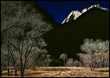 Bare cottonwoods and shadows near Zion Lodge. Zion National Park, Utah, USA.