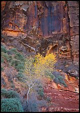 Yellow bright tree and red cliffs. Zion National Park, Utah, USA. (color)