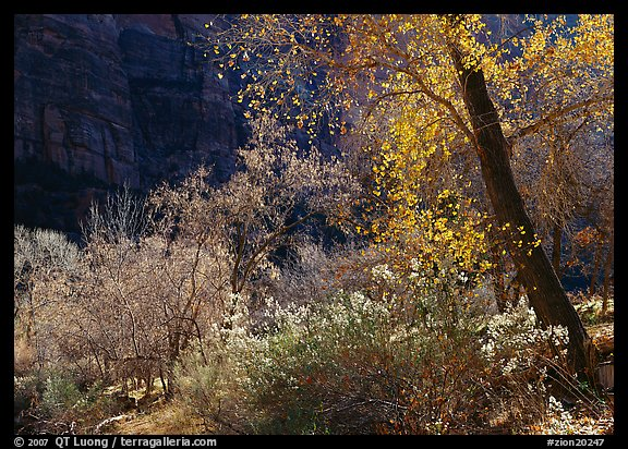 Backlit trees and shrubs in autumn. Zion National Park (color)