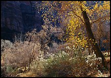 Backlit trees and shrubs in autumn. Zion National Park, Utah, USA.