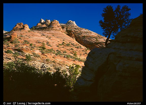 Pine and hoodoos near Canyon View, early morning. Zion National Park (color)