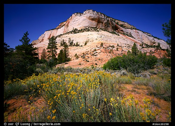 Sage flowers and colorful sandstone formations. Zion National Park, Utah, USA.