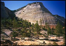 Pine trees and Checkerboard Mesa, morning. Zion National Park, Utah, USA.