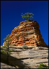 Moon and pine on red sandstone, Zion Plateau. Zion National Park, Utah, USA.