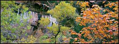 Fall colors and sandstone cliffs. Zion National Park (Panoramic color)