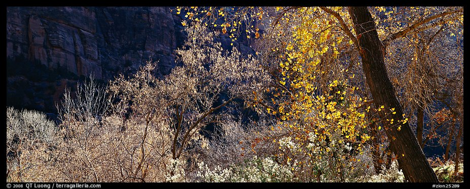 Autumn colors and cliffs. Zion National Park (color)