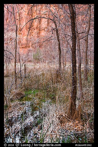 Bare trees, bog, and cliffs. Zion National Park (color)