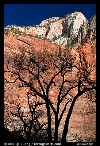 Bare trees and multicolored cliffs. Zion National Park (color)