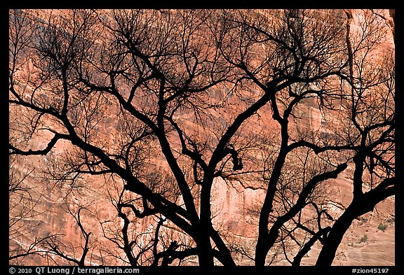 Dendritic pattern of tree branches against red cliffs. Zion National Park (color)
