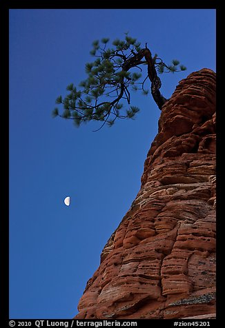 Pine tree and half-moon at dawn. Zion National Park (color)