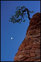 Pine tree and half-moon at dawn. Zion National Park, Utah, USA. (color)