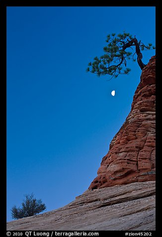 Bush, half-moon, and pine tree, twilight. Zion National Park (color)