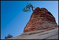 Tree growing out of sandstone tower with moon. Zion National Park, Utah, USA. (color)