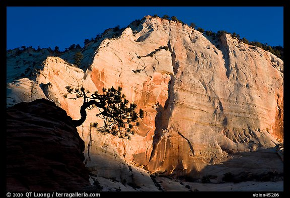 Tree in silhouette and cliff at sunrise, Zion Plateau. Zion National Park (color)
