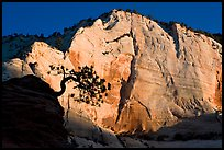 Tree in silhouette and cliff at sunrise, Zion Plateau. Zion National Park ( color)