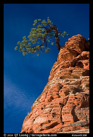 Tree growing out of twisted sandstone, Zion Plateau. Zion National Park (color)