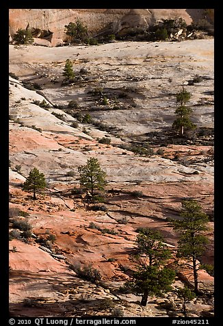 Pine trees and sandstone slabs, Zion Plateau. Zion National Park (color)