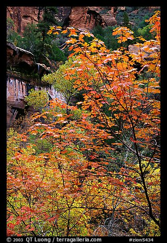 Cliff, waterfall, and trees in fall foliage, near the first Emerald Pool. Zion National Park (color)