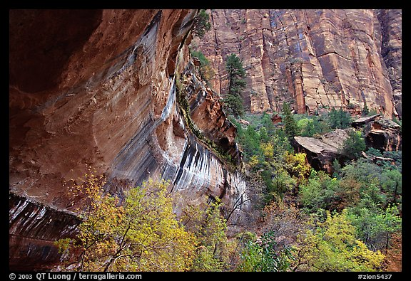 Sandstone cliff and trees in autumn foliage. Zion National Park (color)