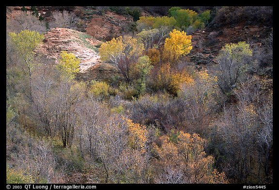 Trees in fall foliage in creek, Finger canyons of the Kolob. Zion National Park (color)