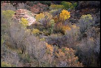Trees in fall foliage in creek, Finger canyons of the Kolob. Zion National Park, Utah, USA. (color)