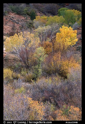 Trees in fall colors in a creek, Finger canyons of the Kolob. Zion National Park, Utah, USA.