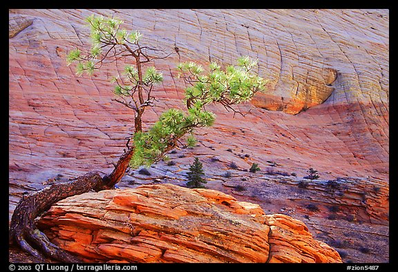 Pine tree and checkerboard patterns, Zion Plateau. Zion National Park (color)