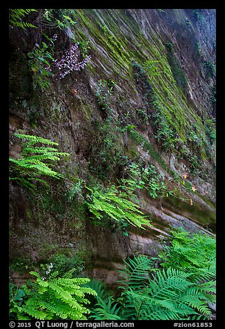 Wall covered with ferns and flowers, Hidden Canyon. Zion National Park (color)