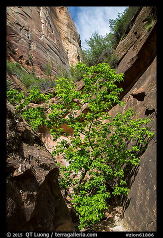 Young tree with green leaves in Mystery Canyon. Zion National Park (color)