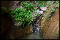 Ferns and stream, Mystery Canyon. Zion National Park ( color)