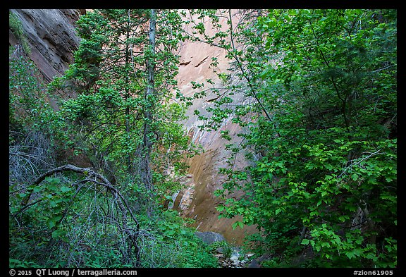 Verdant leaves and sandstone wall, Mystery Canyon. Zion National Park (color)