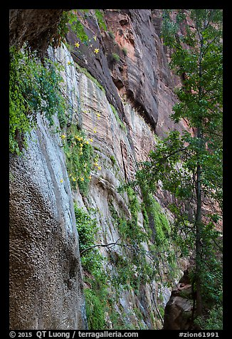 Canyon wall with wildflowers. Zion National Park (color)