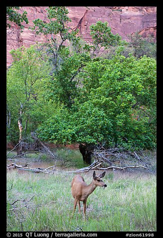 Deer, trees, and canyon walls. Zion National Park (color)